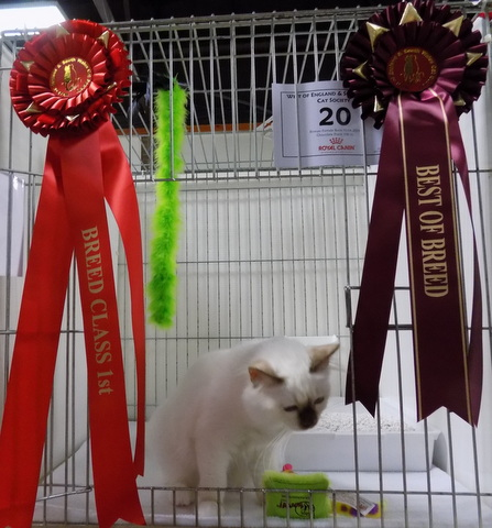 KITTENS FOR SALE - CARRISMOON BIRMANS